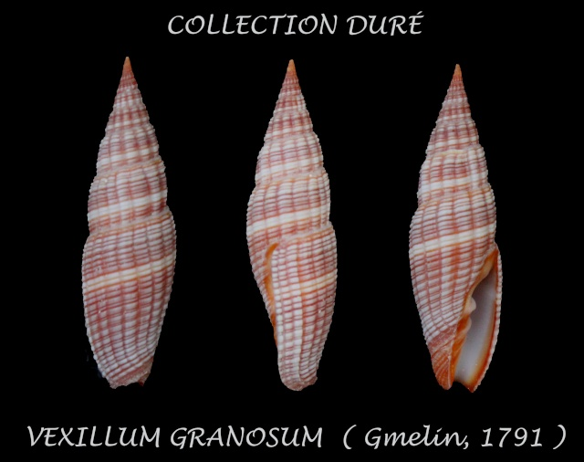 Vexillum granosum - (Gmelin, 1791) Panor129