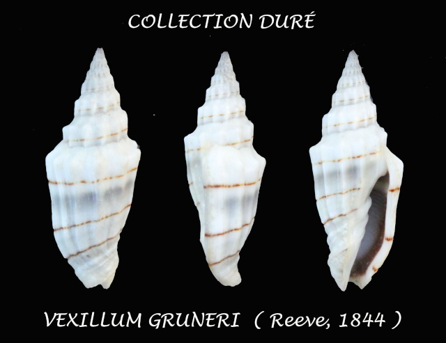 Vexillum gruneri - (Reeve, 1844) Panor130