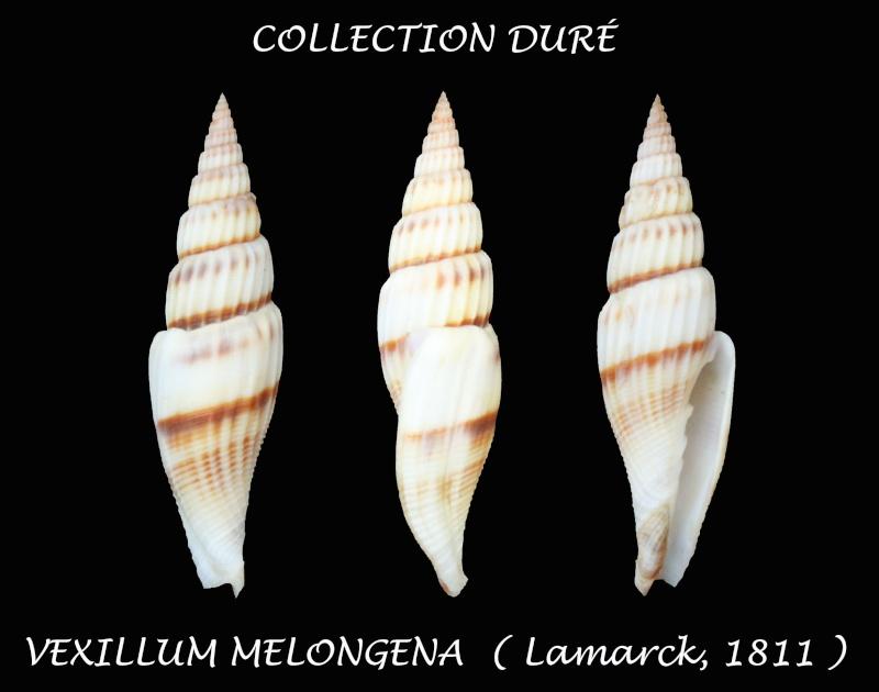 Vexillum melongena - (Lamarck, 1811) Panor133