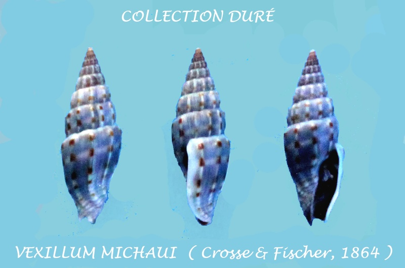 Vexillum michaui - (Crosse & P. Fischer, 1864) Panor135