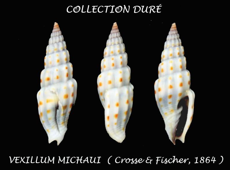 Vexillum michaui - (Crosse & P. Fischer, 1864) Panor136