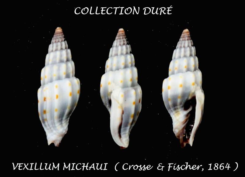 Vexillum michaui - (Crosse & P. Fischer, 1864) Panor137