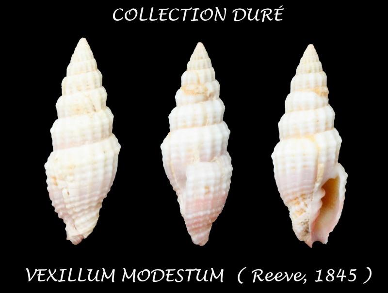 Vexillum modestum - (Reeve, 1845) Panor140