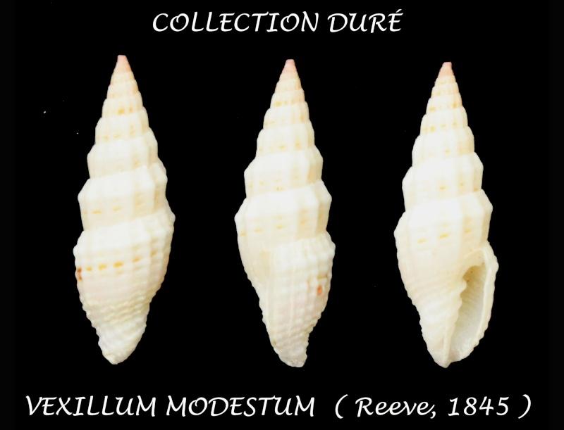 Vexillum modestum - (Reeve, 1845) Panor141