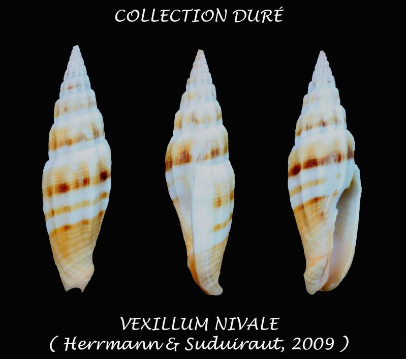Vexillum nivale - Herrmann & Guillot de Suduiraut, 2009  Panor142