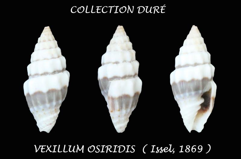 Orphanopusia osiridis - (Issel, 1869) Panor143