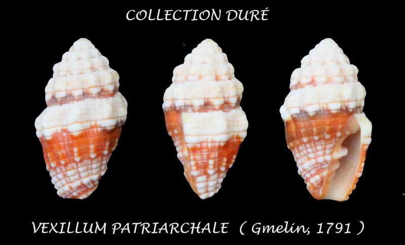 Orphanopusia patriarchalis - (Gmelin, 1791) Panor144
