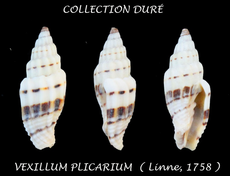 Vexillum plicarium - (Linnaeus, 1758)  Panor145