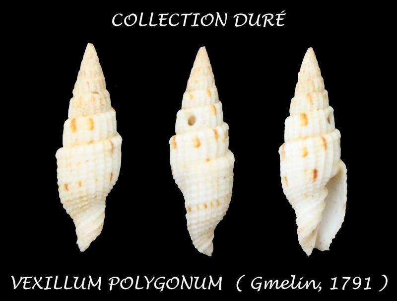 Vexillum polygonum - (Gmelin, 1791) Panor146