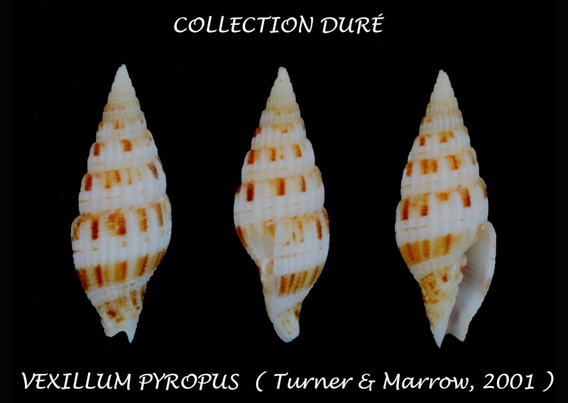 Vexillum pyropus - H. Turner & Marrow, 2001 Panor147