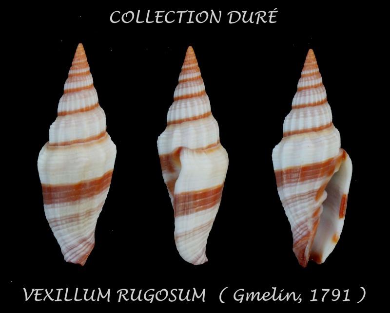 Vexillum rugosum - (Gmelin, 1791) Panor150