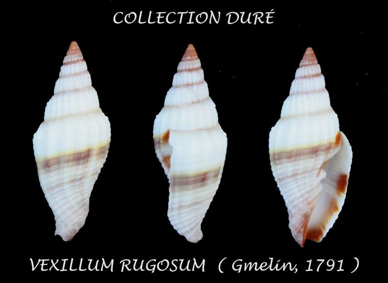 Vexillum rugosum - (Gmelin, 1791) Panor151