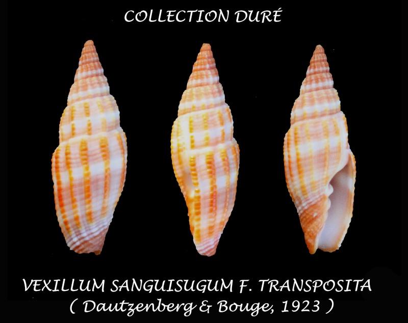 Vexillum transpositum - (Dautz & Bouge 1923) Panor153