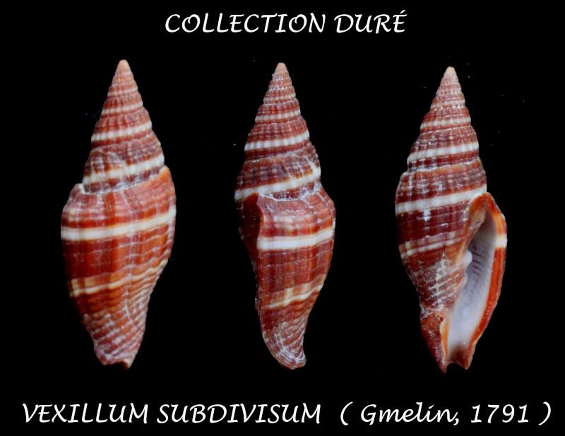 Vexillum subdivisum - (Gmelin, 1791) Panor154