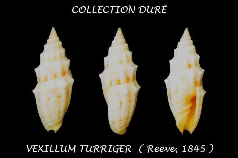 Vexillum turriger - (Reeve, 1845)  Panor157