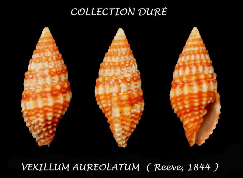 Vexillum aureolatum - (Reeve, 1844) Panor162