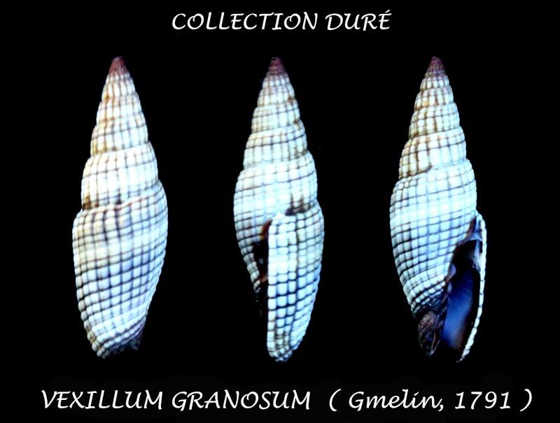 Vexillum granosum - (Gmelin, 1791) Panor165