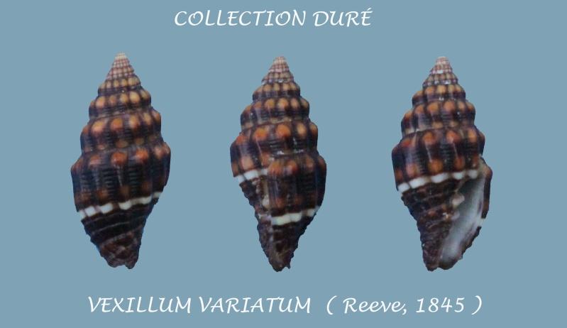 Vexillum variatum - (Reeve, 1845) Panor166