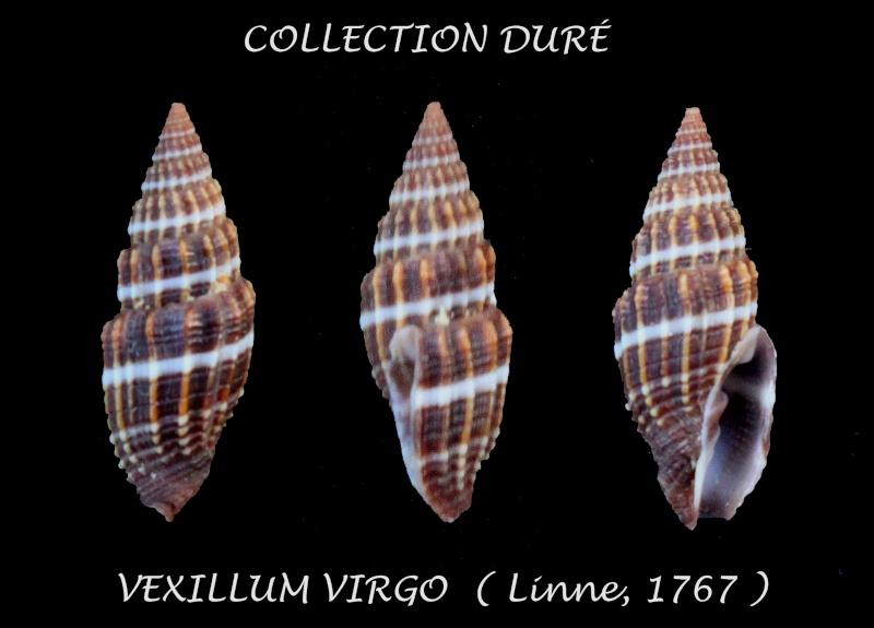 Vexillum virgo - (Linnaeus, 1767) Panor168