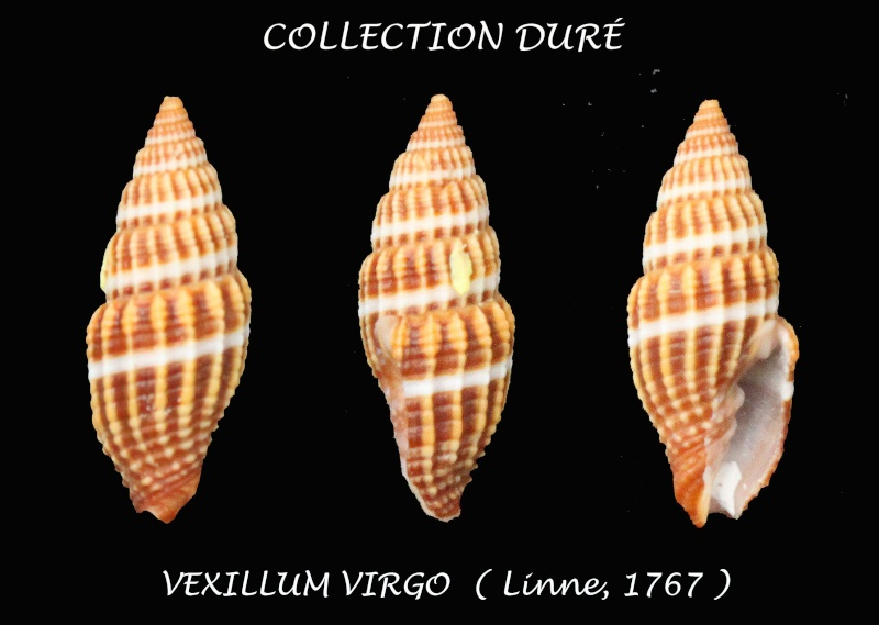Vexillum virgo - (Linnaeus, 1767) Panor176
