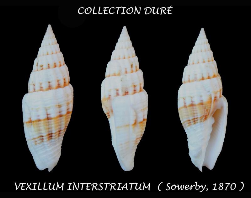 Vexillum interstriatum - (G. B. Sowerby II, 1870)  Panor190