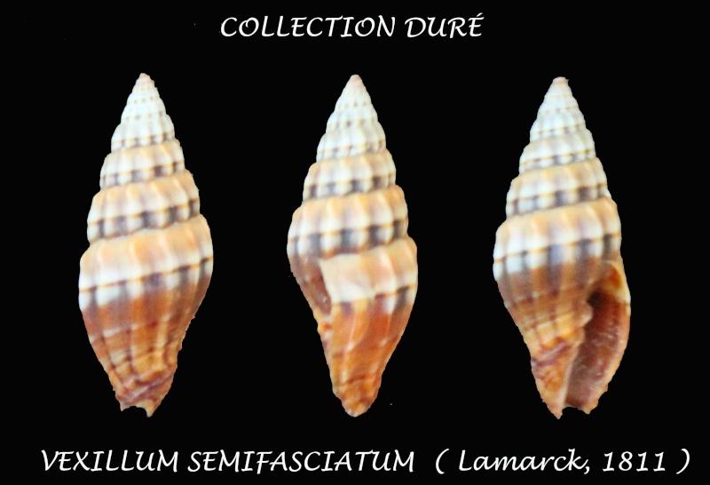 Vexillum semifasciatum - (Lamarck, 1811)  Panor191