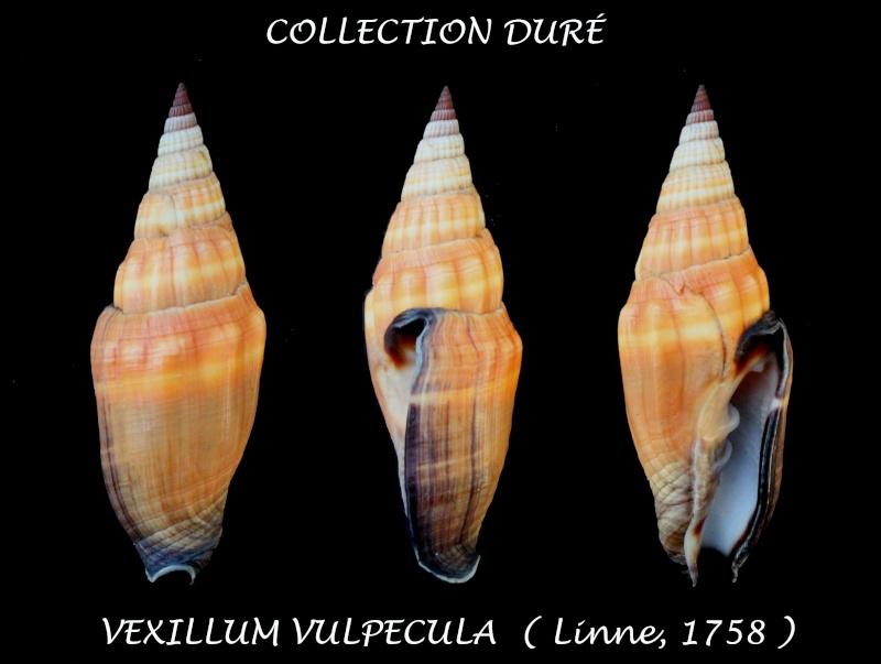 Vexillum vulpecula - (Linnaeus, 1758) - Page 3 Panor192