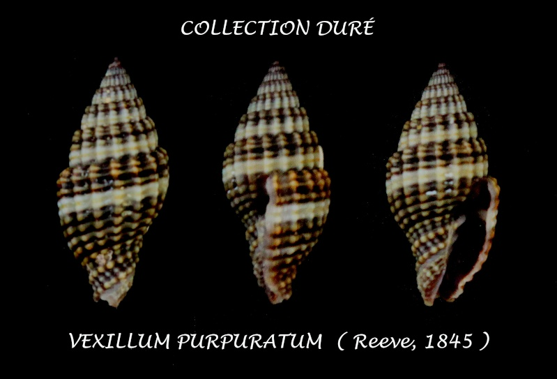 Vexillum purpuratum - (Reeve, 1845) Panor200