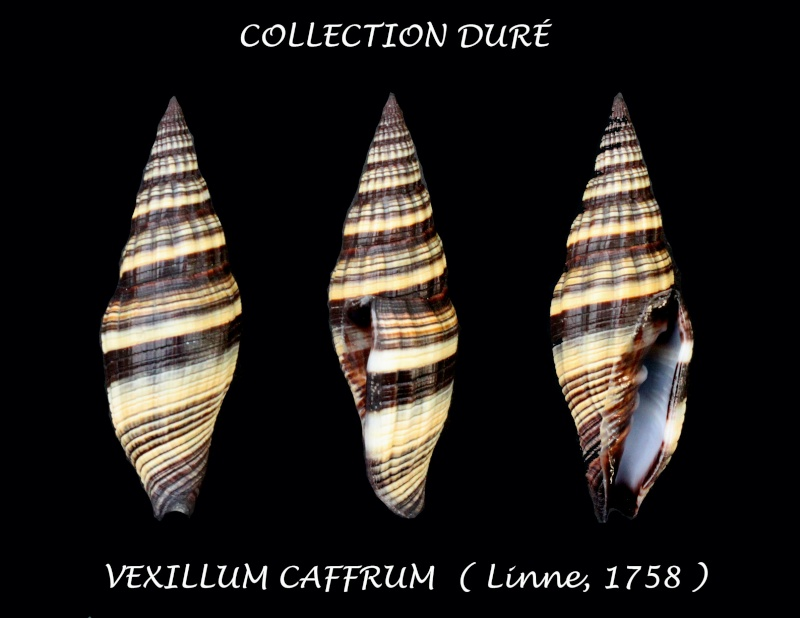 Vexillum caffrum - (Linnaeus, 1758)  Panor201
