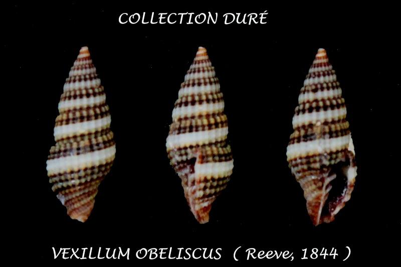 Vexillum obeliscus - (Reeve, 1844) Panor202