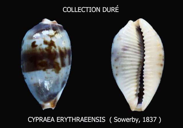 Bistolida erythraeensis - (G. B. Sowerby I, 1837) Panora11