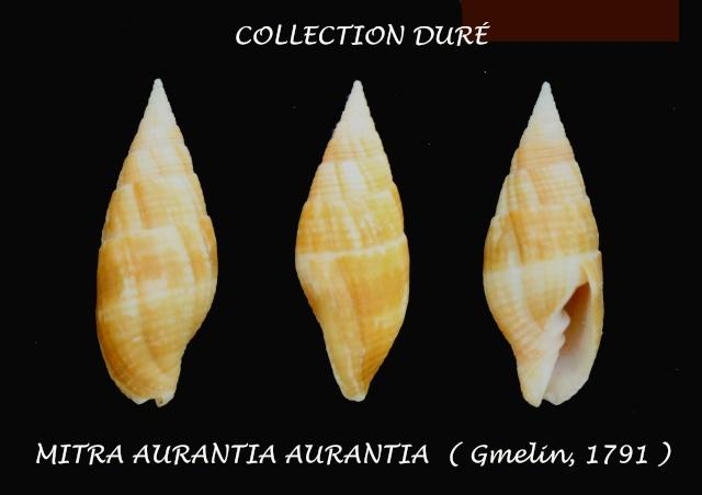 Strigatella aurantia - (Gmelin, 1791)  Panora21