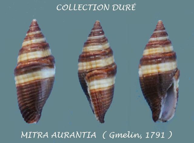 Strigatella aurantia - (Gmelin, 1791)  Panora22