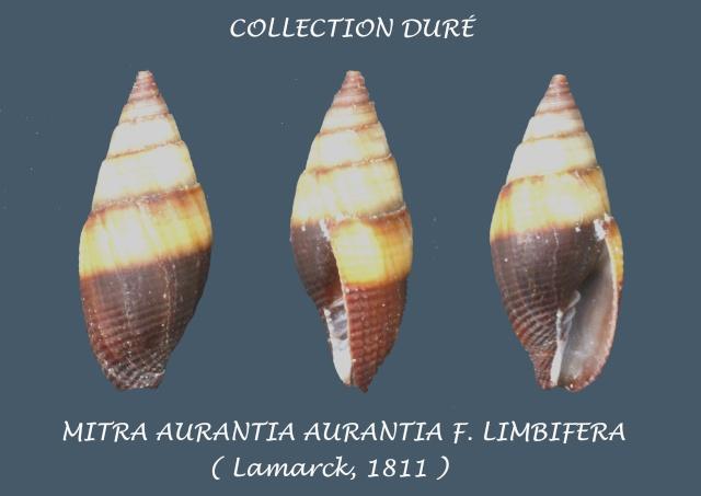 Strigatella aurantia - (Gmelin, 1791)  Panora23