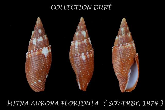 Strigatella aurora floridula - (G. B. Sowerby II, 1874)  Panora27