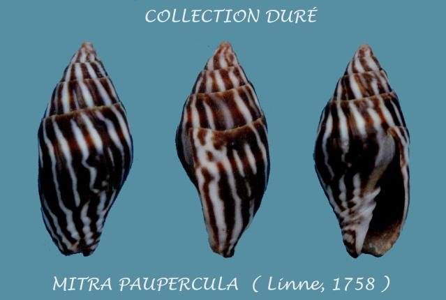 Strigatella paupercula - (Linnaeus, 1758) Panora52