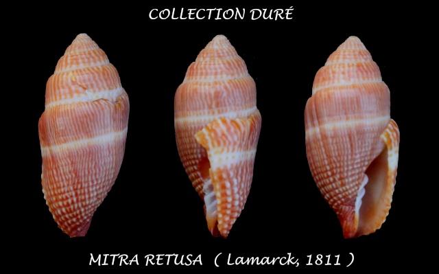 Strigatella retusa - (Lamarck, 1811)  Panora58