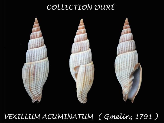 Vexillum acuminatum - (Gmelin, 1791) Panora99
