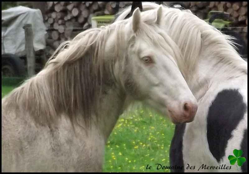 Fantasia des Merveilles pouliche Irish Cob pie smocky black A RESERVER Indy_810