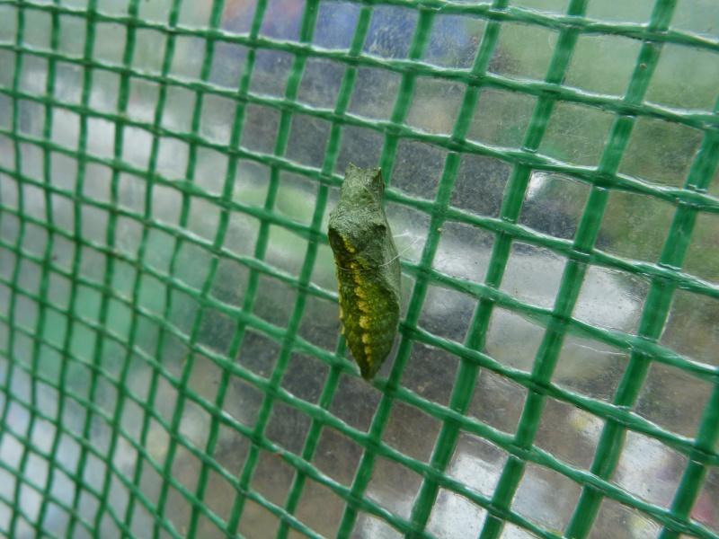 Papilio machaon émergence & chrysalydes, P1710210