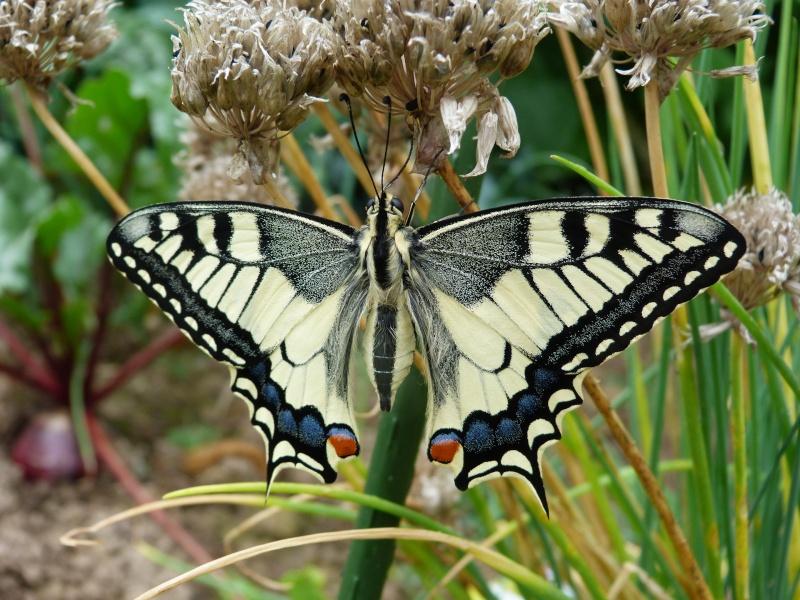 Papilio machaon émergence & chrysalydes, P1710411