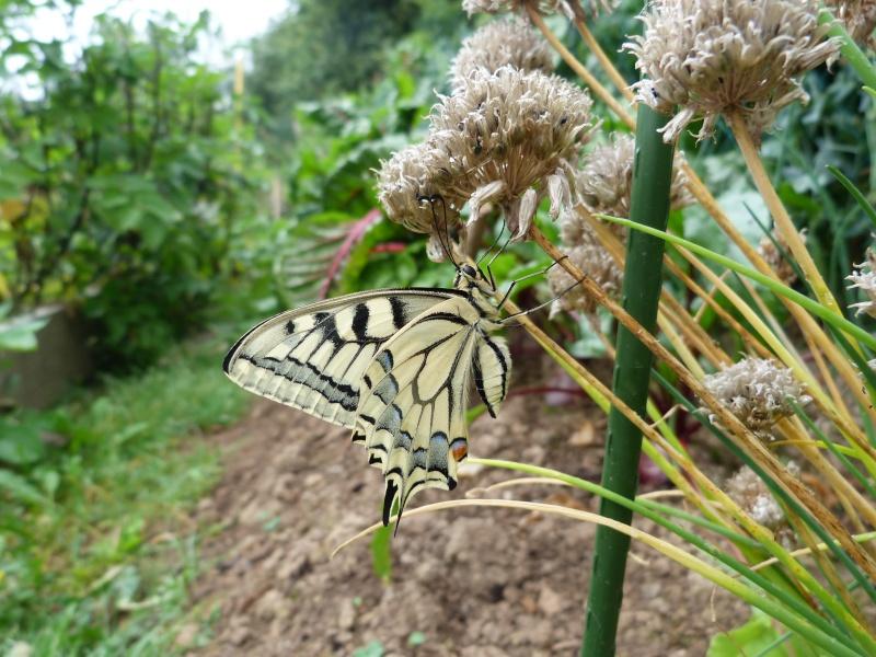 Papilio machaon émergence & chrysalydes, P1710412
