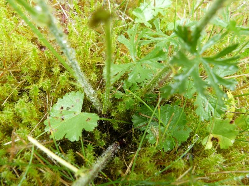 Carcharodus alceae, plante hôte de la chenille; P1710414
