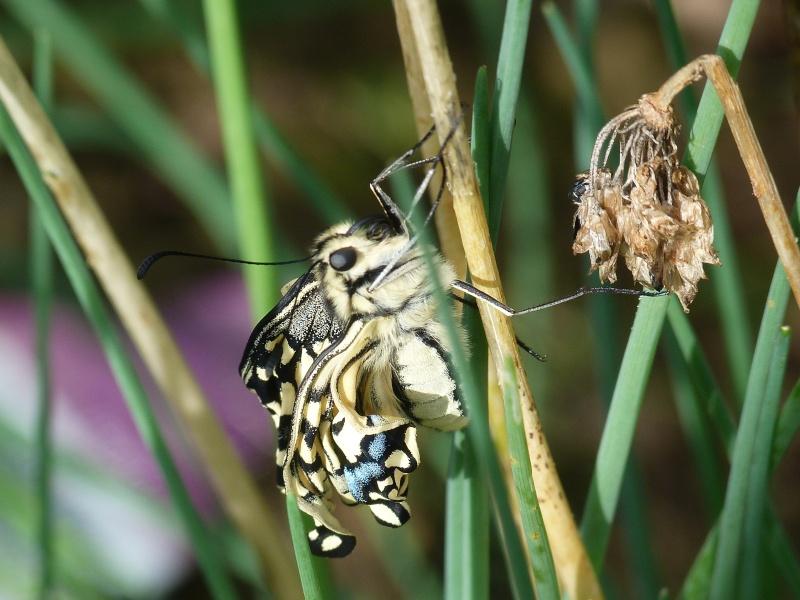 Papilio machaon émergence & chrysalydes, P1710611