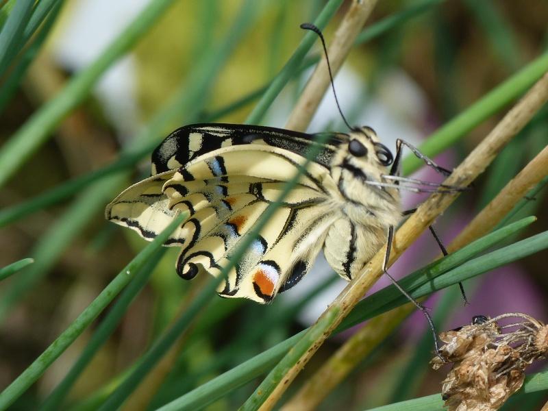Papilio machaon émergence & chrysalydes, P1710612