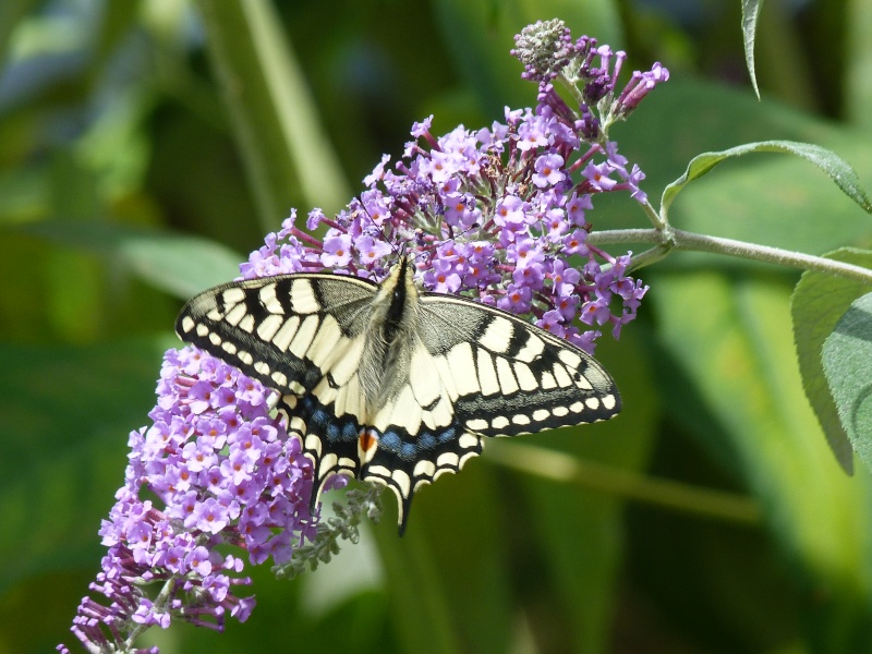 Papilio machaon émergence & chrysalydes, P1710613