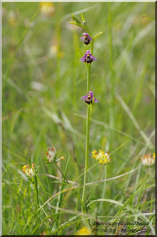 Ophrys gresivaudanica ( Ophrys du Grésivaudan ) Imgp1016