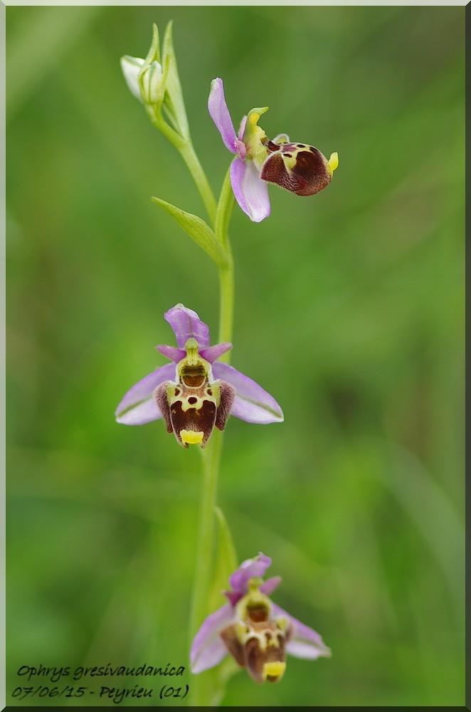 Ophrys gresivaudanica ( Ophrys du Grésivaudan ) Imgp1021