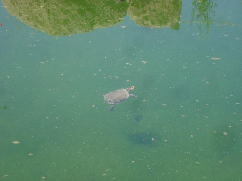 tortue de crete Dsc00811