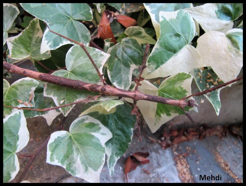"""Medauromorpha regina """"Tay Yen Tu"""" (P.S.G. N° 393) (C.L.P n°623) Img_3911"""